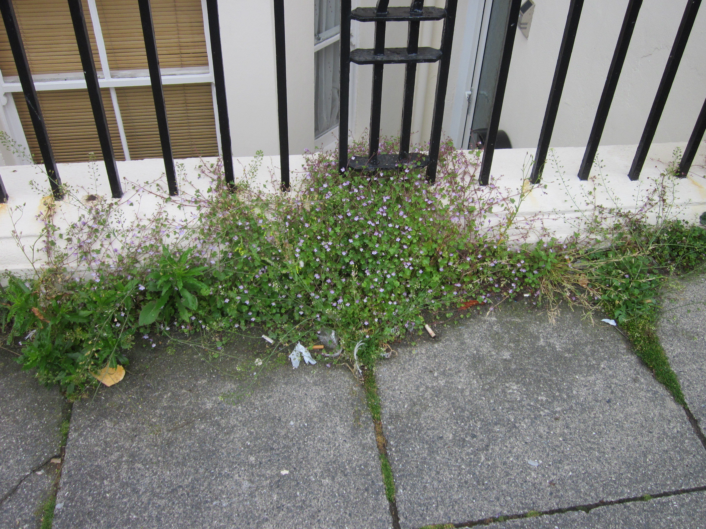 Council's dilemma – it's got a weedkiller that doesn't kill weeds!