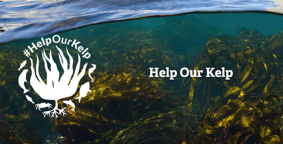 Vital habitat can grow again – local coastline will see UK's first kelp rewilding initiative