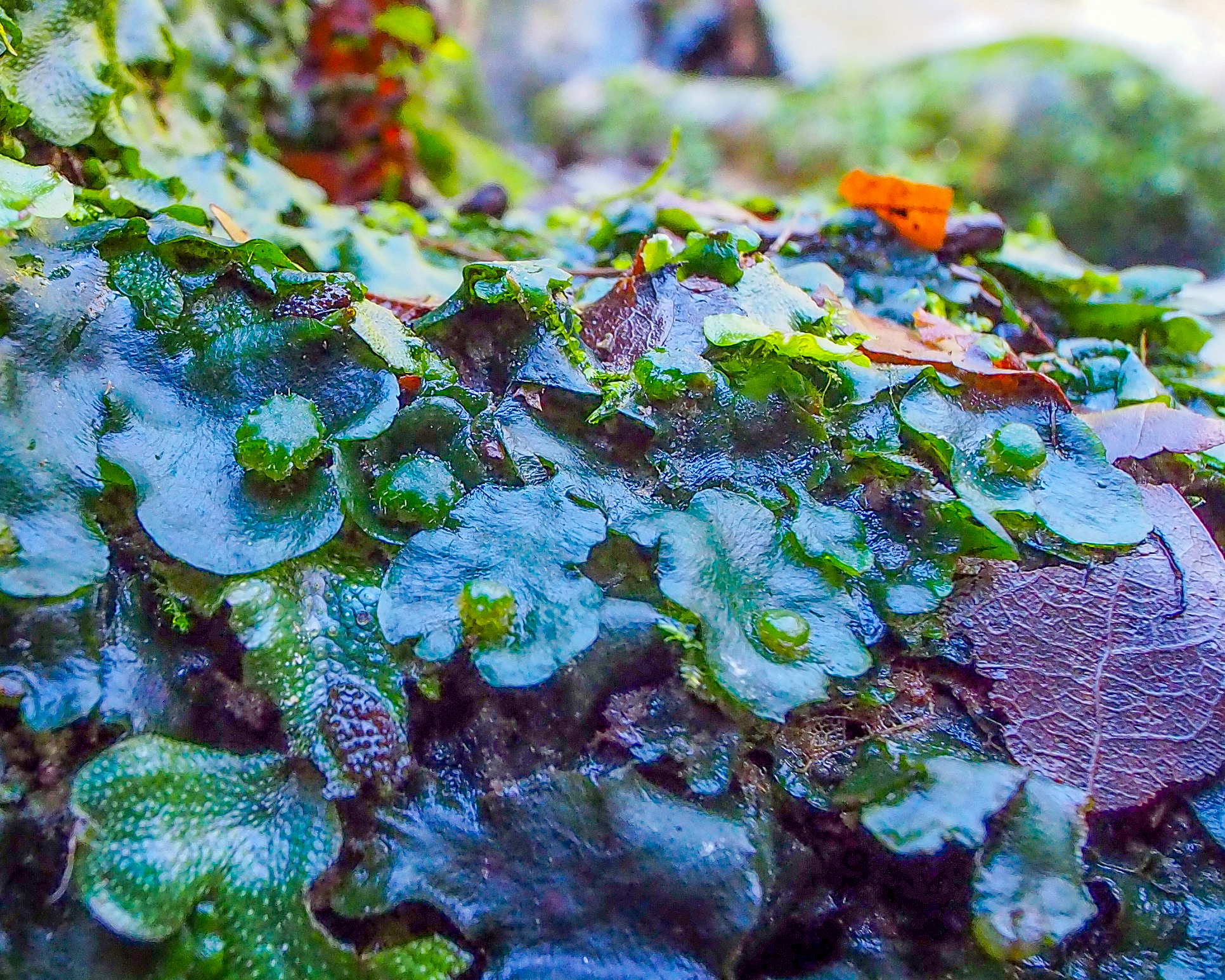 Half the nation's Dumortier's Liverwort is right here in Hastings