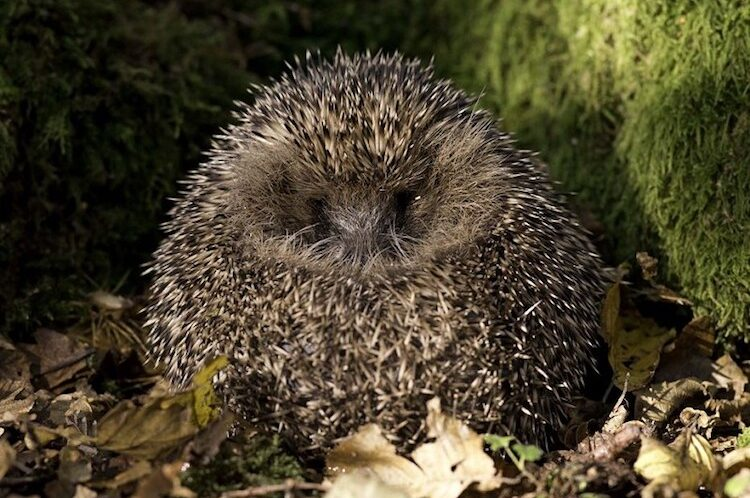Helping hedgehogs survive the winter – how you can play your part